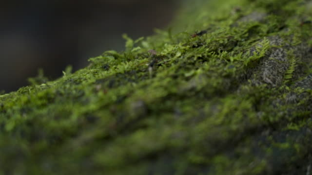 vidéos et rushes de close-up: ants on a mossy tree trunk - tronc d'arbre
