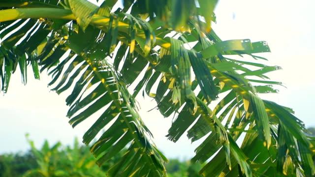close-up at banana leaf slowmotion - banana stock videos & royalty-free footage