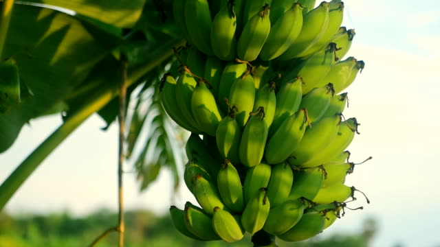 close-up at banana - abundance stock videos & royalty-free footage