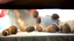 close-up, automated potato cleaning from dirt and soil , sifting from debris, sprouts. Potatoes move on special conveyor machinery belt . potato harvesting, crop