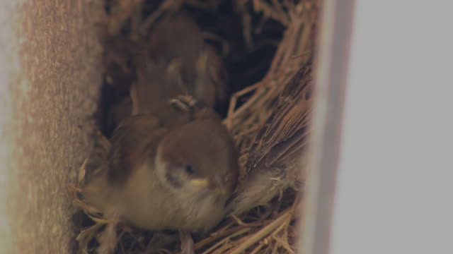closeup; baby sparrows - nido di animale video stock e b–roll