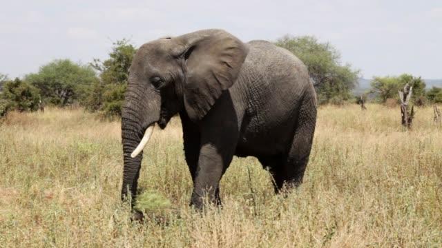 close-up: beautiful majestic african elephant eating grass on the savanna - krüger nationalpark stock-videos und b-roll-filmmaterial