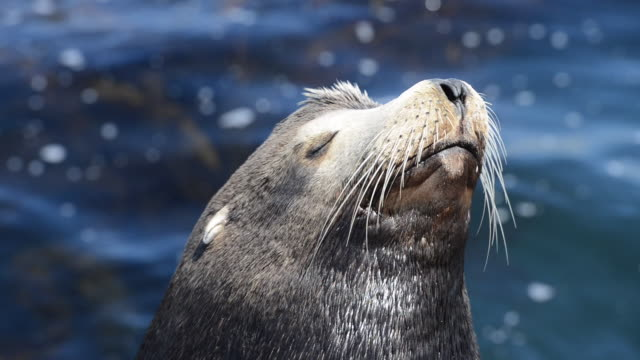 close-up: beautiful sea lion looking radiant in the sunshine - sea lion stock videos & royalty-free footage