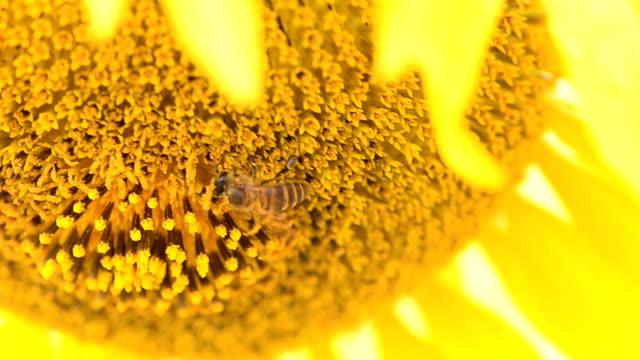 vídeos y material grabado en eventos de stock de primer plano : abeja recogida de polen en un girasol - una rosa
