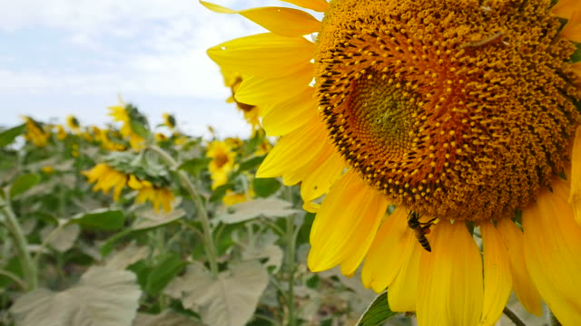 Closeup bee on a sunflower. (Slow motion)