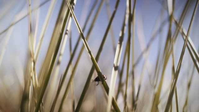 close-up beetle on marram grass - reed grass family stock videos & royalty-free footage