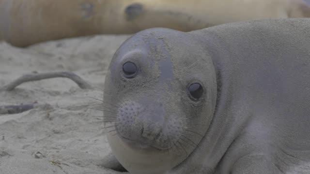 close-up: black sandy seal resting on beach - barking animal sound stock videos & royalty-free footage