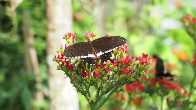 closeup black swallowtail butterfly feeding on red flowers - animal antenna stock videos & royalty-free footage
