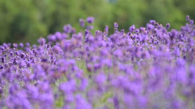 風、北海道クローズ アップの咲くラベンダー花 - 植物 ラベンダー点の映像素材/bロール
