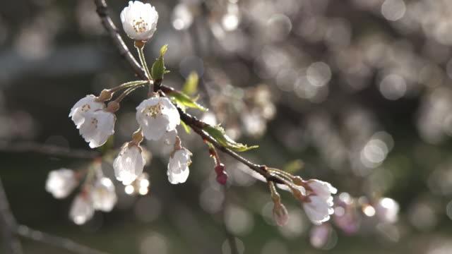 Closeup; Blossoms of Hyotan-zakura In Niyodogawa, Kouchi, Japan