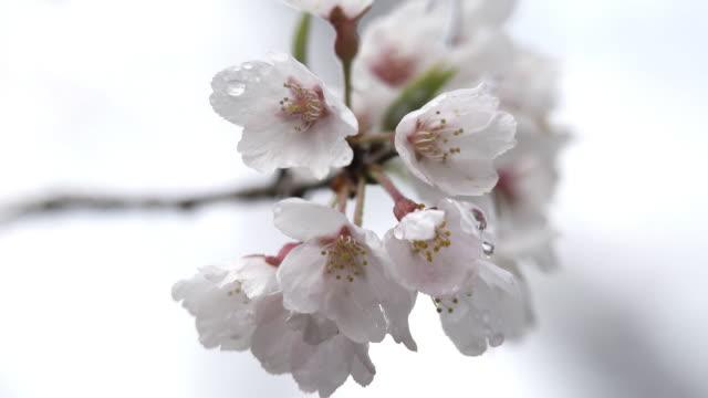 vídeos de stock e filmes b-roll de closeup; blossoms of hyotan-zakura in niyodogawa, kouchi, japan - estame