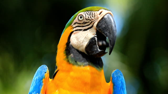 close-up blue and yellow macaw - parrot stock videos & royalty-free footage