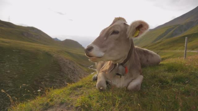 vidéos et rushes de close-up: brown cow with bell chews cud in mountainous pass - swiss alps, switzerland - mâcher