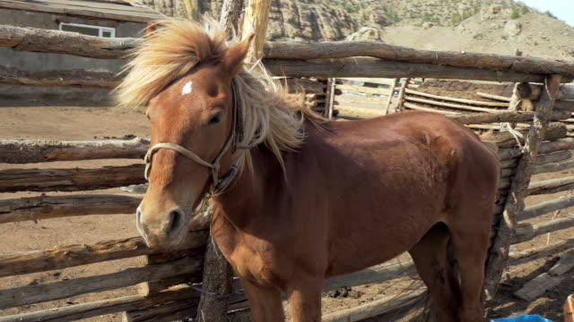 close-up: brown horse with long blond mane standing by railing during sunny day - ulaanbaatar, mongolia - ulan bator stock videos & royalty-free footage