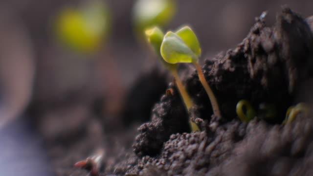 closeup; buckwheat sprouts, nagano, japan - buckwheat stock videos & royalty-free footage