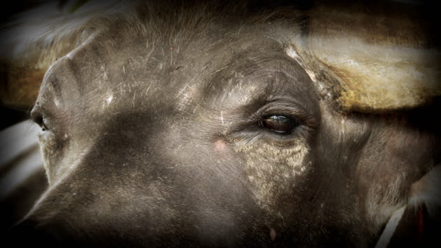 vídeos de stock e filmes b-roll de 4k: close-up buffalo - búfalo africano
