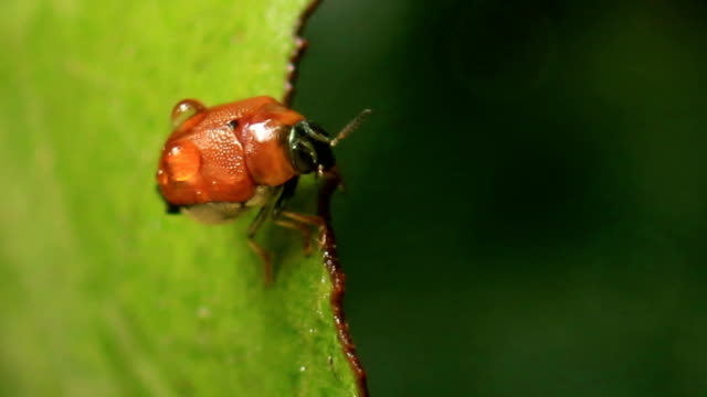 close-up bug on green leaf - beetle stock videos & royalty-free footage