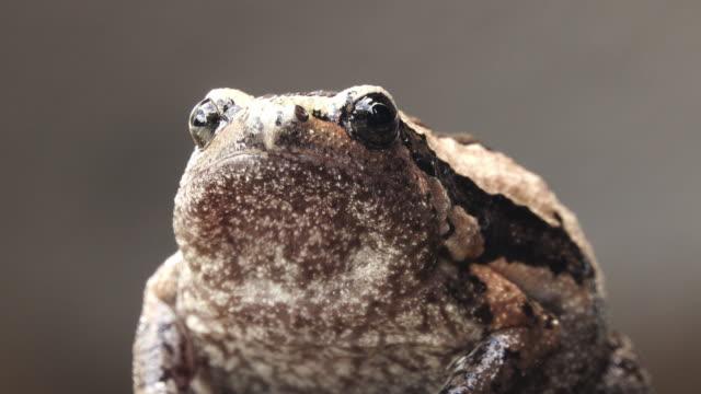 vídeos de stock e filmes b-roll de close-up bullfrog head - sapo