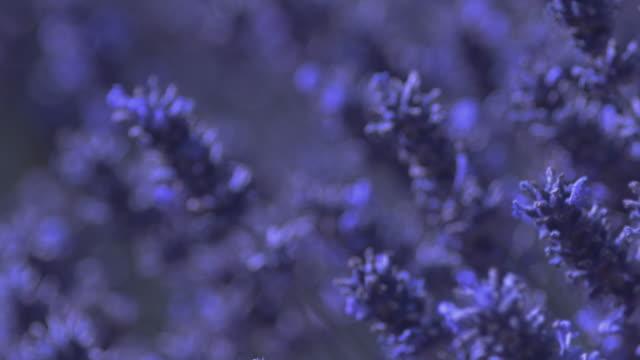 closeup: busy bees pollinating summer lavender flowers - 植物 ラベンダー点の映像素材/bロール