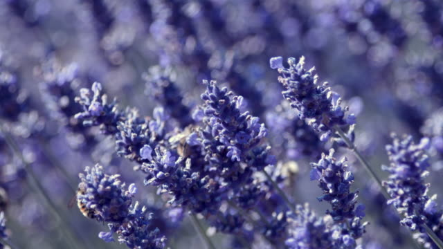 closeup: busy bumblebees on summer lavender flowers - 植物 ラベンダー点の映像素材/bロール