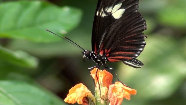 vídeos de stock e filmes b-roll de close-up de borboleta em flor (vídeo em hd - um animal
