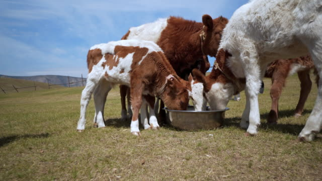 close-up: calves feeding from container on field - ulaanbaatar, mongolia - animal pen stock videos & royalty-free footage