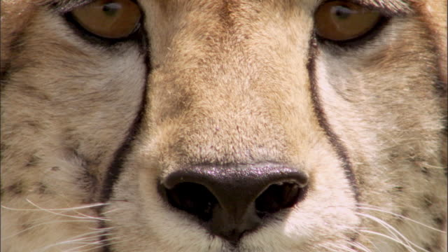 close-up cheetahs - cheetah stock videos and b-roll footage