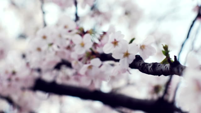 closeup; cherry blossoms blown in wind, japan - shimane prefecture stock videos & royalty-free footage