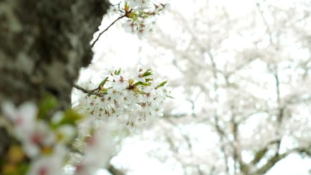 vídeos de stock e filmes b-roll de close-up cherry blossoms swaying against the wind around shoji lake, slow motion shot - pólen