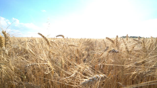 closeup crane move in dry wheat field in 4k - crane shot stock videos & royalty-free footage