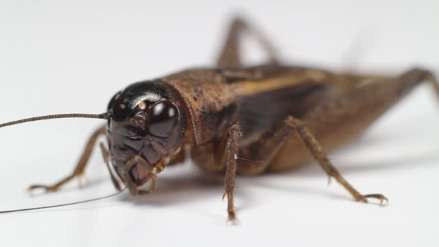 closeup cricket - cricket insect stock videos and b-roll footage