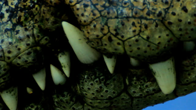 close-up crocodile teeth - teeth stock videos and b-roll footage
