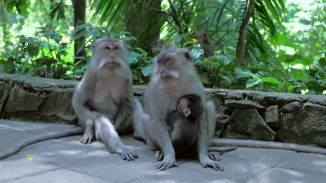 close-up: cute baby monkeys with their mothers - ubud stock videos & royalty-free footage
