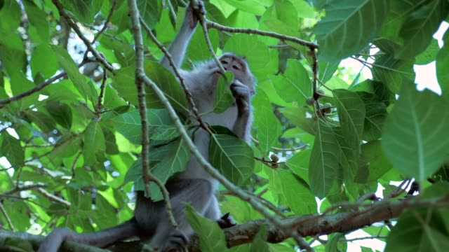close-up: cute monkey breaking and chewing a twig - twig stock videos & royalty-free footage