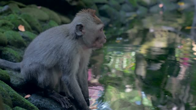Close-up: Cute Monkey Sitting on Rock by Water then Eating