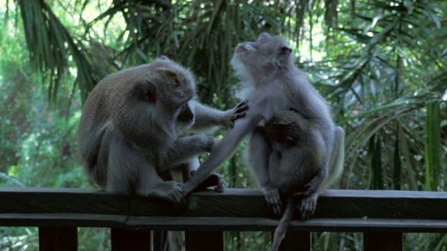 Close-up: Cute Monkeys Grooming on Handrail