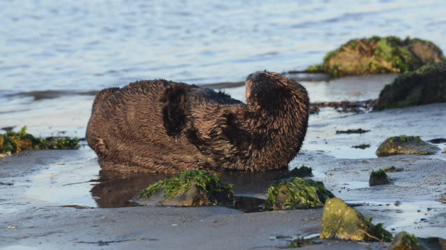 close-up: cute sea otter cleaning himself on the sand near green moss - カワウソ点の映像素材/bロール