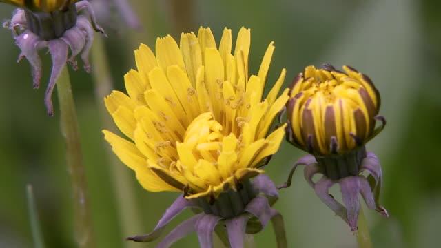 Closeup; Dandelion Flowers