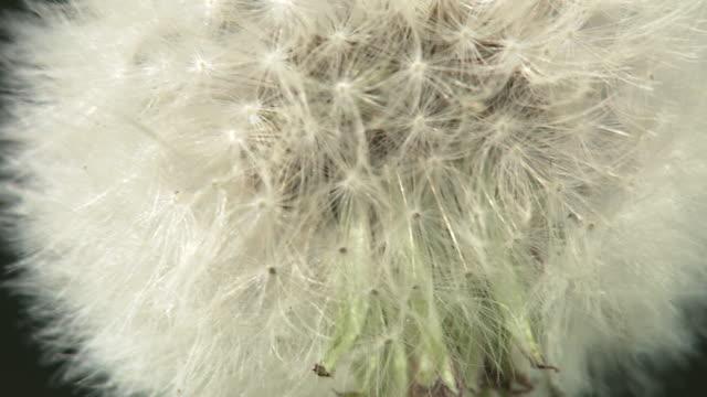 Closeup; Dandelion Seeds