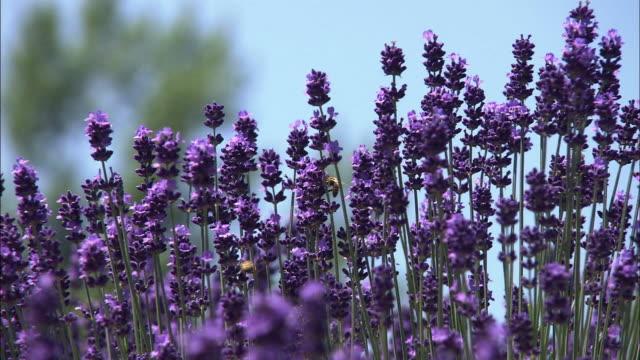Closeup; Dark Purple Lavender, Hokkaido, Japan