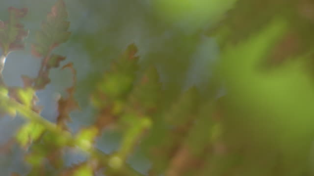 close-up, defocussed shot of a lime green branch of bracken moving in the breeze, barrington tops national park, australia. - bracken stock videos and b-roll footage