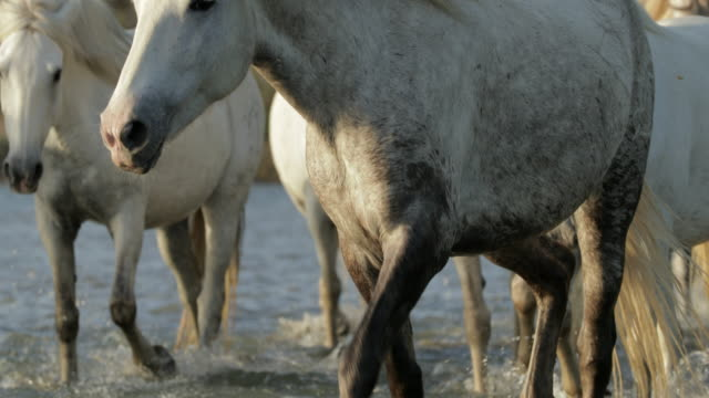stockvideo's en b-roll-footage met close-up dirty white horse wading in sea on sunny day - camargue, france - sunny