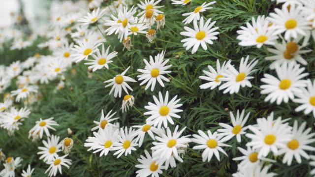 close-up dolly: many Daisy flowers