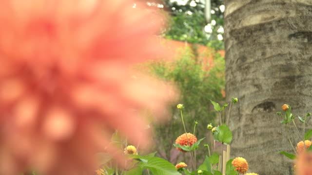 クローズ アップ ドリー: 植物園の中のオレンジ色の柔らかい花 - ダリア点の映像素材/bロール