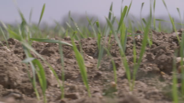 Close-up dolly shot of shoots emerging from soil on a farm, UK.