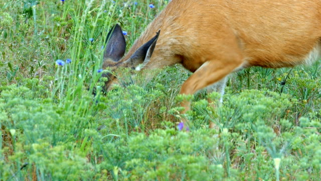 close-up eating north american blacktail mule deer doe grazing in wildflower meadow in the columbia river gorge near rowena crest - animal's crest stock videos and b-roll footage