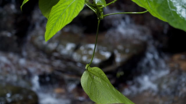 Close-up: Exotic Leaves with Swift Stream in Background