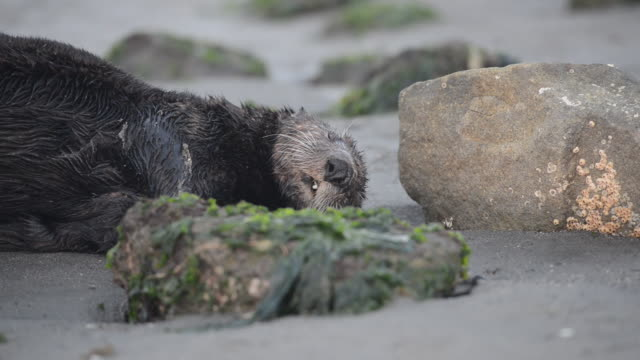 close-up: face of a sleeping sea otter lying in wet sand near rocks and moss - stone material stock videos & royalty-free footage