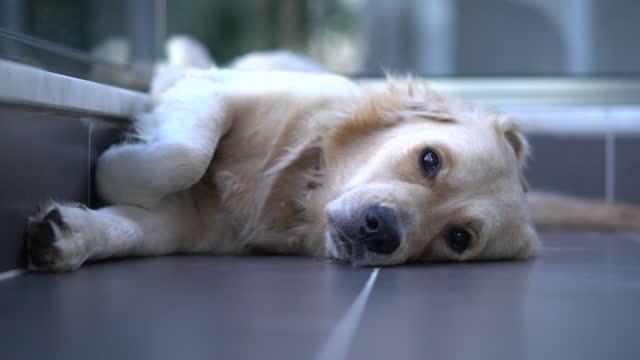 stockvideo's en b-roll-footage met close-upgezicht van leuke gouden retrieverhond en droevige bored gezichtsslaap op vloer - een dutje doen