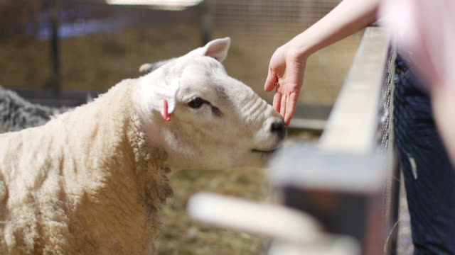 close-up feeding a sheep - lamb animal stock videos and b-roll footage
